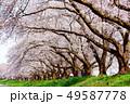 桜 桜並木 春の写真 49587778