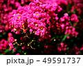 サルスベリ 紅色の花 49591737