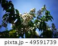サルスベリ 白い花と若い実 49591739