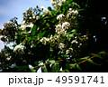 サルスベリ 白い花と若い実 49591741