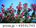 サルスベリ 薄紅色の花 49591743