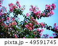 サルスベリ 薄紅色の花 49591745
