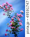 サルスベリ ピンク色の花 49591747