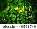 野草 マツヨイグサの花 49591749