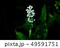 野草 ヤブミョウガの白い花 49591751