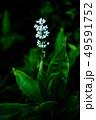 野草 ヤブミョウガの白い花 49591752