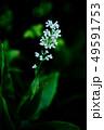野草 ヤブミョウガの白い花 49591753