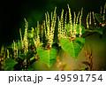 野草 イタドリの花 49591754