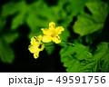 野菜 ゴーヤーの花 49591756