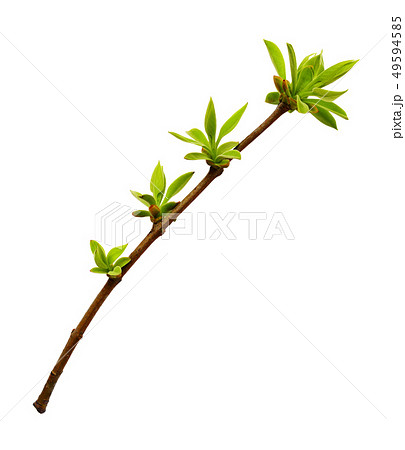Spring twig with small green leaves 49594585