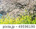 東京 千鳥ヶ淵の桜(早朝) 49596190