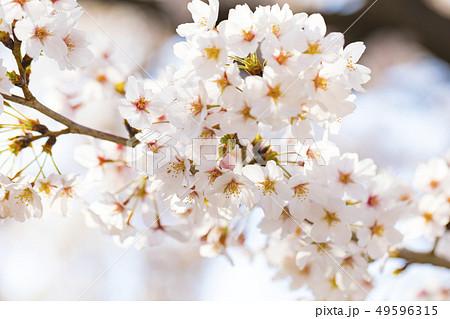 桜 さくら 49596315