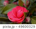 椿の花 49600329