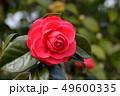 椿の花 49600335