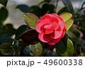 椿の花 49600338