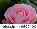 乙女椿 49600408