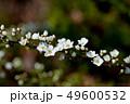 ユキヤナギの花 49600532