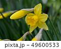 ラッパ水仙 49600533