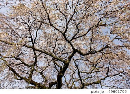 枝垂れ桜 古木 49601796