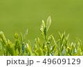 新茶の若葉 新芽の茶葉 49609129
