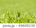 新茶の若葉 新芽の茶葉 49609130