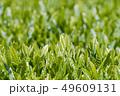 新茶の若葉 新芽の茶葉 49609131