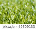新茶の若葉 新芽の茶葉 49609133