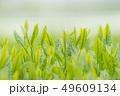 新茶の若葉 新芽の茶葉 49609134