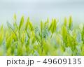 新茶の若葉 新芽の茶葉 49609135