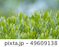 新茶の若葉 新芽の茶葉 49609138