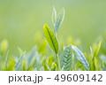 新茶の若葉 新芽の茶葉 49609142