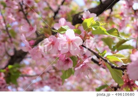 美しく咲くピンク色の桜、満開、春の日本、群馬県 49610680