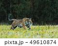動物 アムールトラ シベリアトラの写真 49610874