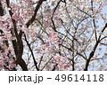 八重桜とソメイヨシノ 49614118