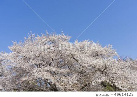 桜(ソメイヨシノ)と青空 49614125