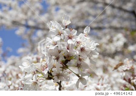 桜(ソメイヨシノ) 49614142