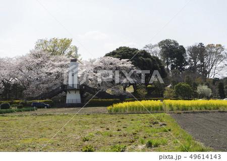 桜と菜の花と時計台 49614143