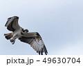 空を飛ぶミサゴ 49630704