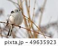 春のシマエナガ 49635923