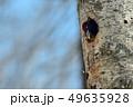 クマゲラ 49635928