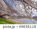 一目千本桜 桜並木 宮城 49636118