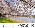 一目千本桜 桜並木 宮城 49636119