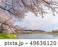 一目千本桜 桜並木 宮城 49636120