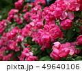 咲き並んだ赤い薔薇 49640106