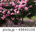 ピンクの薔薇 49640108