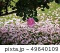 舞い散った薔薇の花びら 49640109