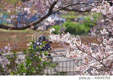 桜 49640700