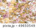 河津桜 桜 春の写真 49650549