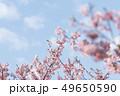 河津桜 桜 春の写真 49650590