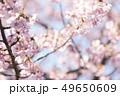 河津桜 桜 春の写真 49650609